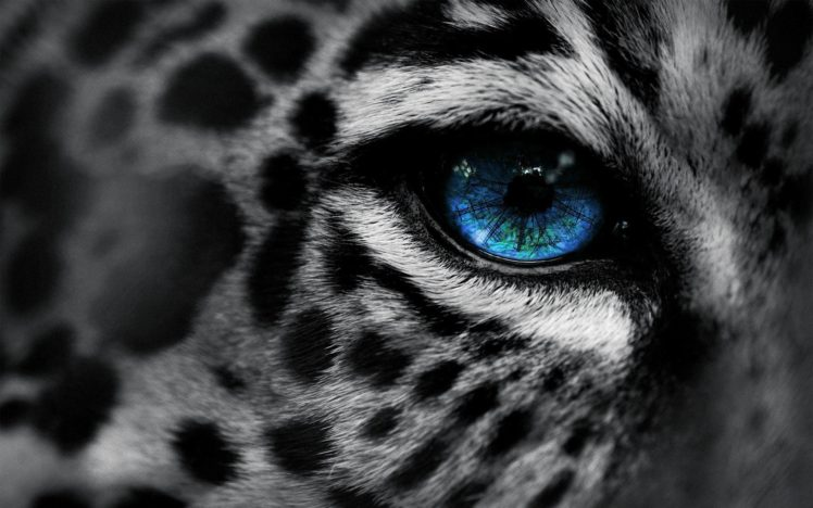 Leopard Snow Leopards Hd Wallpapers Desktop And Mobile Images Photos