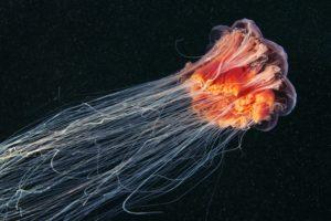 jellyfish, Sea life
